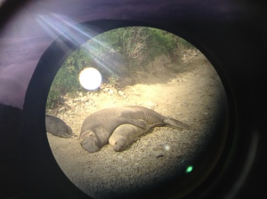 Photograph of elephant seals during mating season at Point Reyes National Park. The photography was taken through a telescope.
