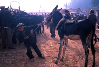 Young man with donkey at animal market in Kasgar, China.