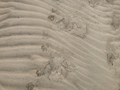 Footprints in the sand. We weren't sure whether this was a cat preying on a deer or just a coincidence of footfalls.