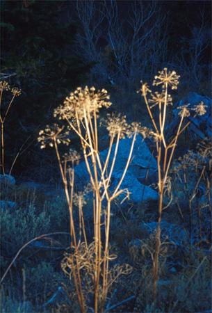 Mount Whitney flowers.