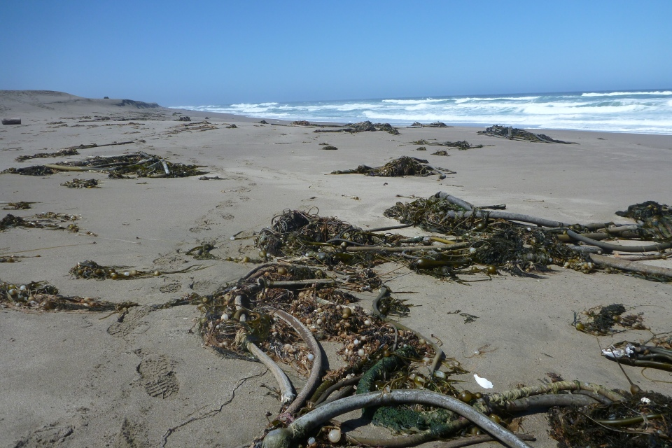 Photograph of sea kelp at the Great Beach in Point Reyes Beach with sea kelp
