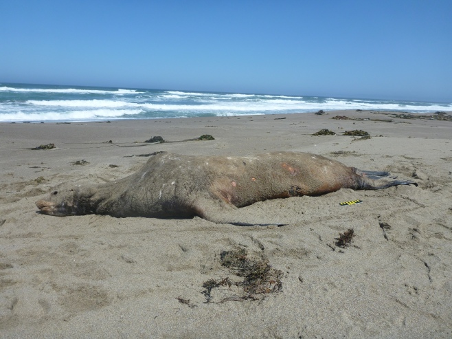Photograph of a large dead male sea lion. A once beautiful marine mammal.