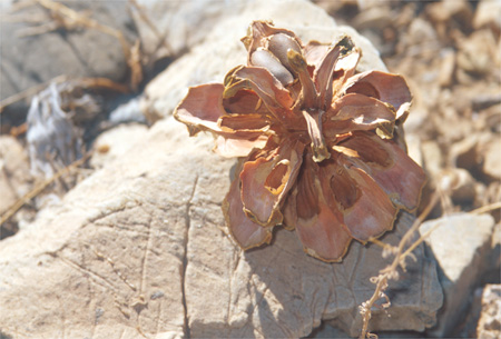 Death Valley pine cone.