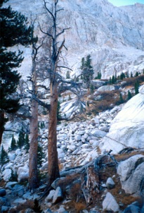 Trees on Mount Whitney.