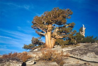 Tree in Yosemite, California.