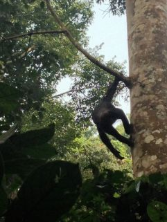 On our first day of chimp tracking, we follow Alf (shown) and Bahati.