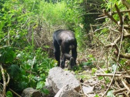 Chimp walking through the Budongo Forest.