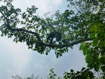 Chimp swinging in the tree in the Budongo Forest.