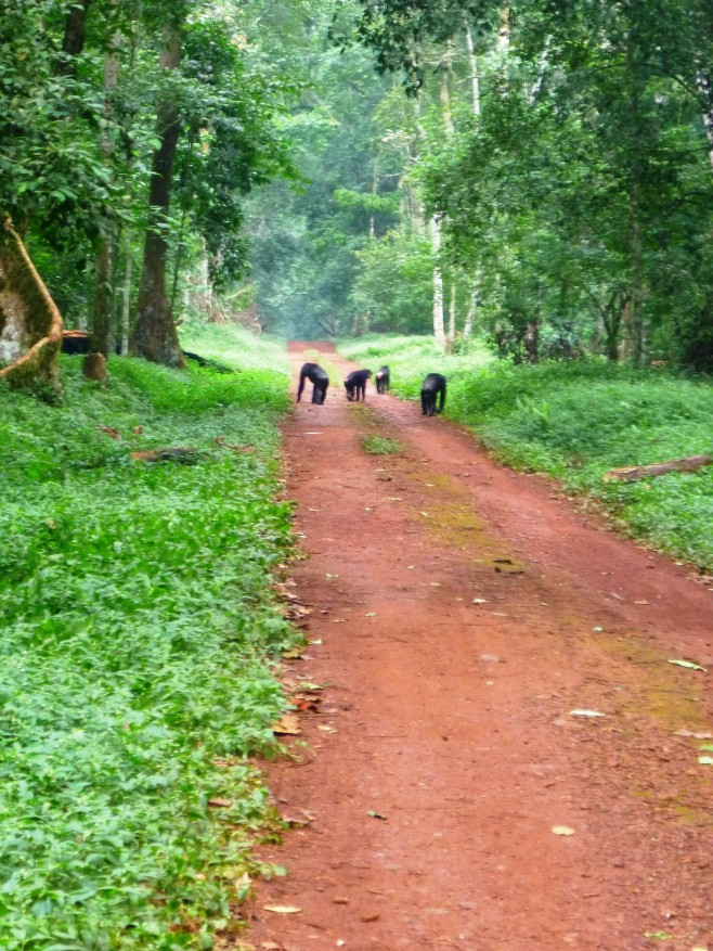 Chimps in the road in the Budongo Forest Reserve, Uganda.