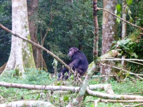 Chimp in the Budongo Forest Reserve, Uganda.