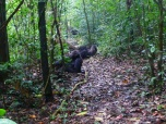 Chimps lounging and grooming in the Budongo Forest Reserve, Uganda.