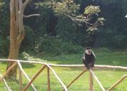 Colobus Monkey - Entebbe Botanical Garden