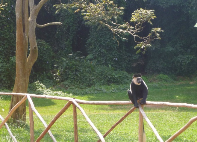 Colobus Monkey - Entebbe Botanical Garden