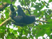 Chimp relaxing in the Budongo Forest Reserve, Uganda.