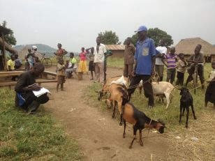 A group gathering to medicate their goats.