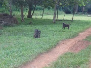 Baboons on the grounds of the Budongo Forest Reserve with our dining hall in the background.