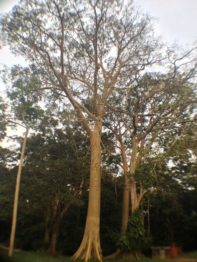 Fig tree on Budongo Forest Reserve attracts blue monkeys and other primates and birds.