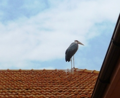 African Black Stork on roof of the Entebbe Traveler's Hotel
