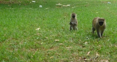 Vervet Monkeys, Entebbe Botanical Garden, Uganda