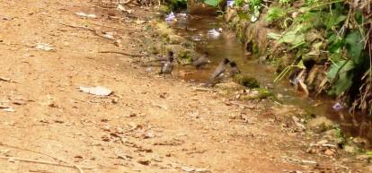 Weavers bathing in the Botanical Garden, Entebbe, Uganda