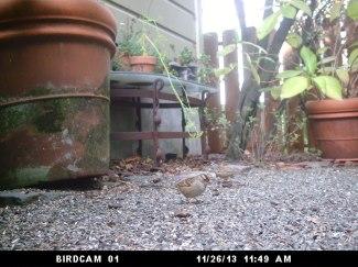 House Sparrow: November 26