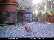 November 5 California Towhee (in the background)