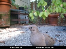 Photo of Mourning Dove: September 28