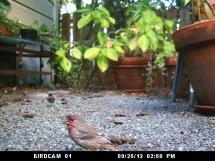 Photo of House Finch: September 25