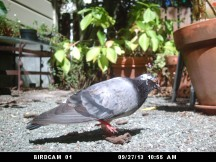 Photo of Rock Dove: September 27