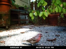 Photo of House Finch: September 29