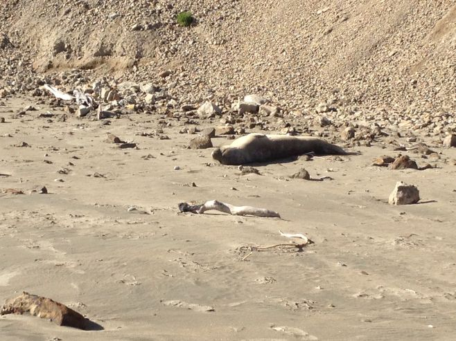 There were also juvenile elephant seals on the beach. We weren't sure whether this one was healthy or not. Sometimes it's hard to tell because they don't move that much either way.