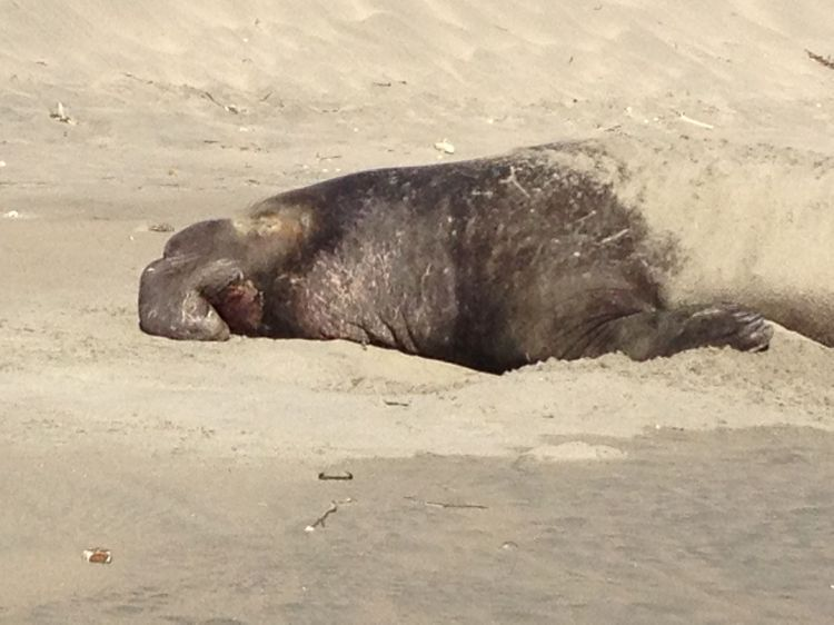 I walked by another Elephant Seal at the North End of Drake's Beach. He had a bloodied nose, meaning that he had probable been fighting just days earlier. Depleted, he was resting to shore up energy to go back again to fight and mate.