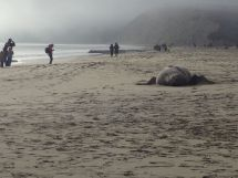 Many people passed the 6,000 pound Elephant Seal on Drake's Beach on Saturday, January 5. Several thought he was not longer living because he hardly moves.