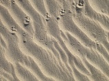 Animal tracks in the sand at North Point Beach in Ano Nuevo State Park, December 2013.