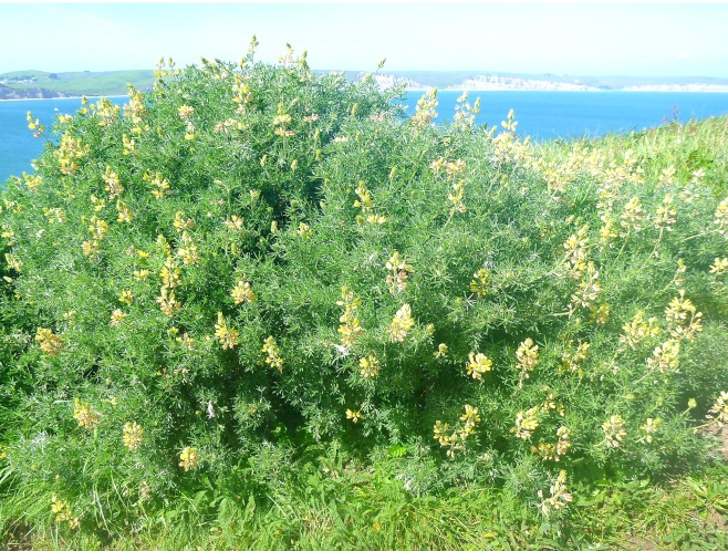 Wildflowers at Point Reyes.