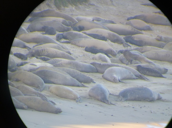 This year's elephant seal colony at Chimney Rock overlook.