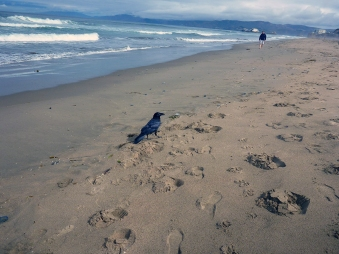 Raven checking out a beachgoer