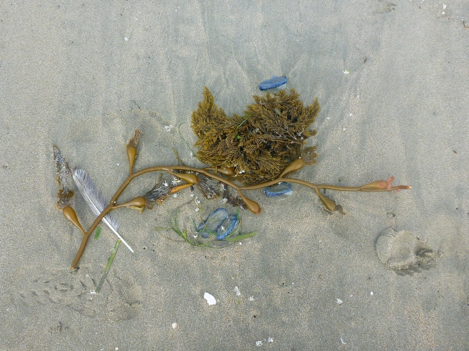 Algae, vellela and feather