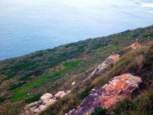 Peregrine Falcon on his rock.