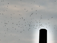 Vaux Swifts in San Rafael