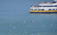 A Humpback whale feeds in San Francisco Bay.